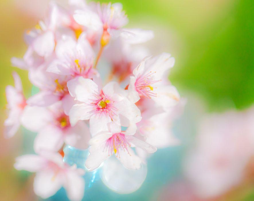 sakura 咲く